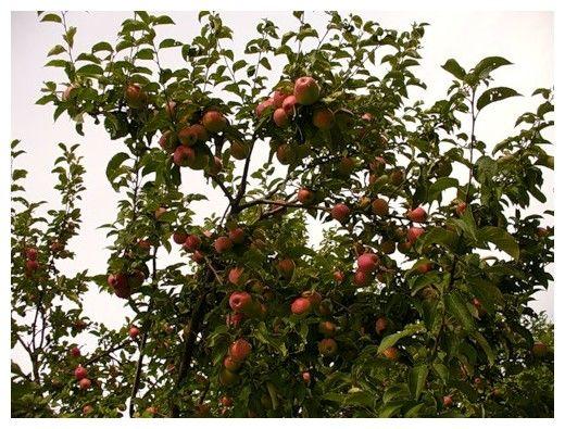 Как вырастить саженец яблони воздушным отводком