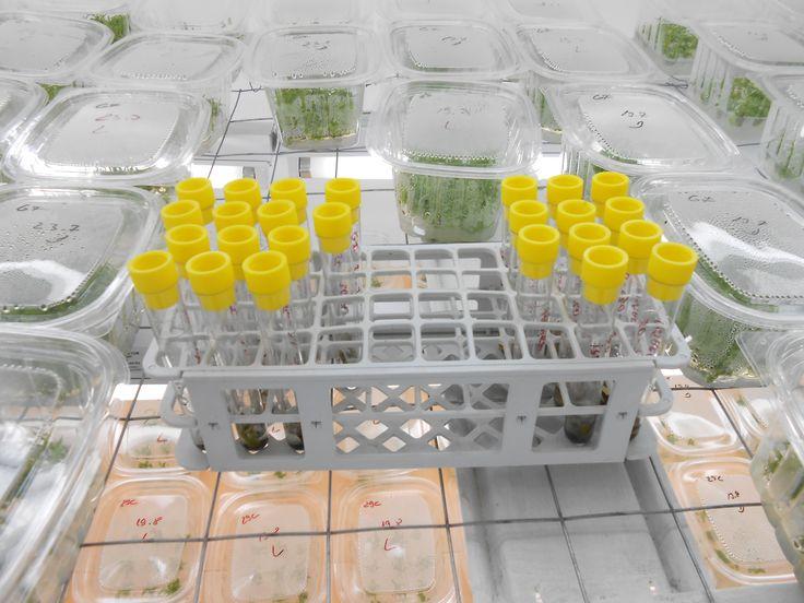Eprubete cu explante - Aici plantele incep sa prinda viata