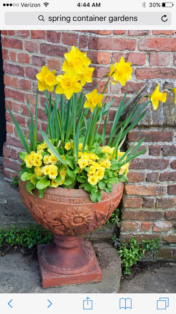 Spring container garden of yellow Narcissus daffodils with yellow perennial  primroses in terracotta pot against brick wall for spring contai.