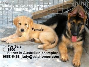 What Pros Arent Saying About Golden Retriever for Sale Singapore and What This Means For You