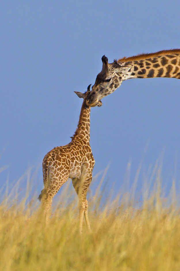A gravidez das girafas fêmeas dura 15 meses.