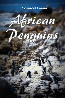 1camera1mom: African Penguins at Stony Point #SouthAfrica #travel #blog #penguins