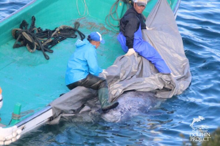 (9) Twitter Dolphin Project @Dolphin_Project   Taiji: 25-30 Risso's dolphins slaughtered in the cove. Another senseless killing of these dolphins.