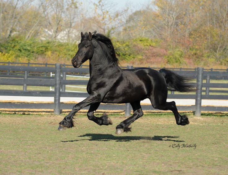 Bildergebnis für Friesian horse front
