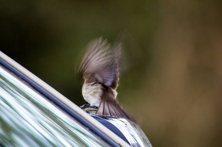 Little brown jobbie enjoying its reflection in the side mirror. #umkhuzegamereserve #umkhuze #mkhuze #mkhuzegamereserve #birding #naturephotography #nature #birds #wildlifephotography #wildlifephoto #wildlife #photobug #photographer #photography #canon #canonphotography #canon_photo #sigma150500 #sigma_photos #sigma #travelbug #travel_photography #sigmaphoto #sigmaphoto_sa #instagramza #instagramsa #southafricaza #pixel_panda #loves_southafrica #thisissouthafrica