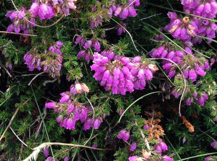 Flor de brezo en el cabo de peñas