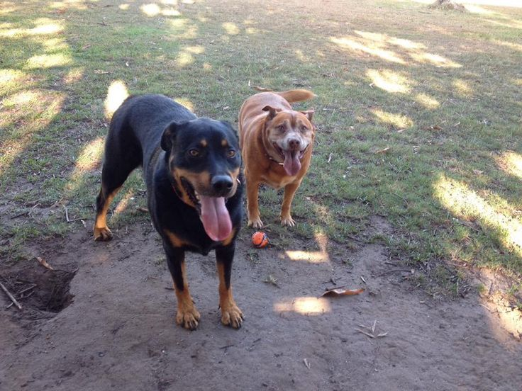 At the dog park with his BFF Rocky - Red Cattle Dog Cross