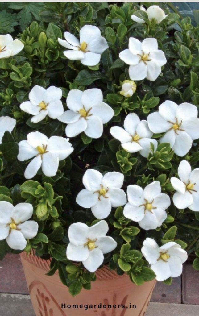 Gardenia Plant How To Care For Gardenia Plant At Home And Garden Gardenia Plant Plants Gardenia Care