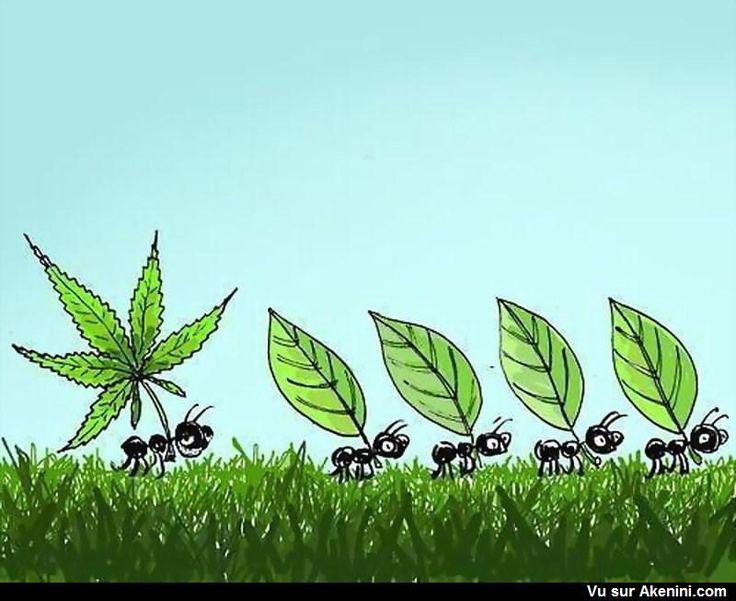 La fourmi et la feuille de cannabis - Ants and cannabis