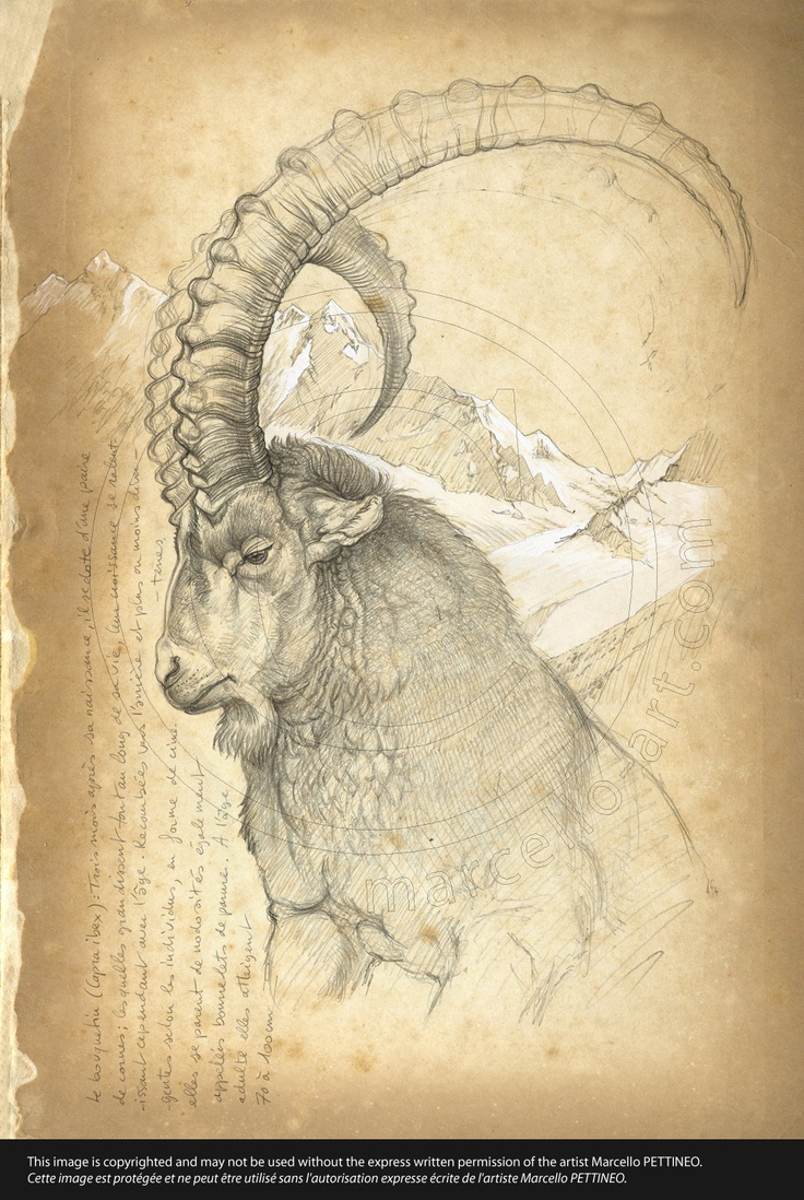n°43-ibex  (c) Marcello Pettineo