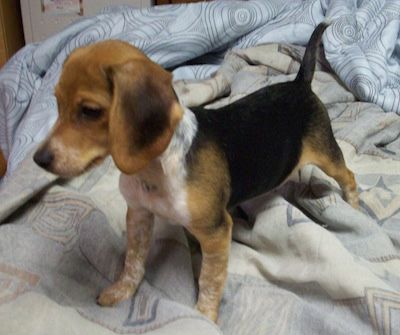 Chester the Beagle puppy.