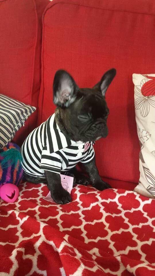 frenchie in stripes