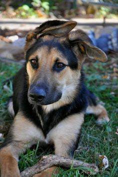 Pictures Of German Shepherd Lab Mix