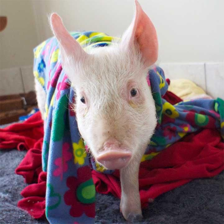 53 best pigs images on Pinterest | Pigs in a blanket ...