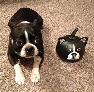 bt and bt pumkin | Everything Boston Terrier | Pinterest | Boston, Pumpkins and Boston Terriers