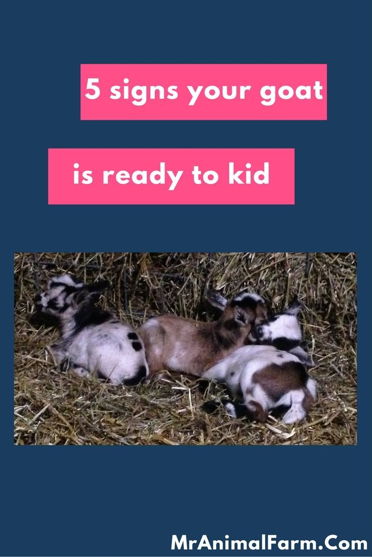 Goat Kidding Signs.  Find out if your goat is ready to kid!