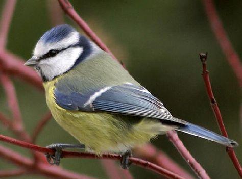 De verschillende soorten vogels in de tuin tijdens de winter soorten, vogels, winter, herkennen, soort, mus, mussen, merel, merels, vink, roodborstje