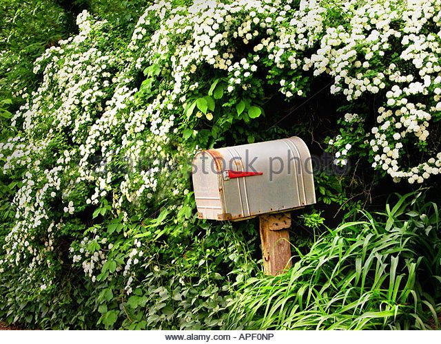 Rustic metal mailbox on wood post amongst white flowers and green leaves. - Stock Image