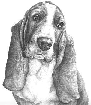 Bassett hound drawing. Dog drawing. Realistic.