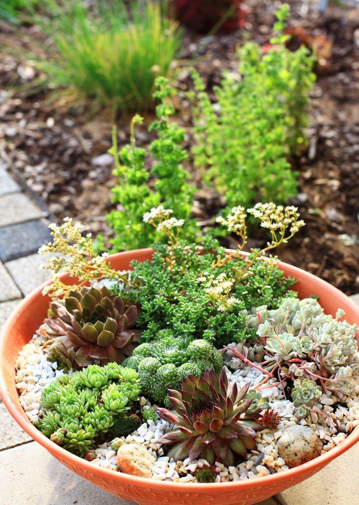 Kiviktaimlas võib peale padjandeid moodustavate püsikute (padjandfloksid, kivirikud, kukeharjad, mägisibulad, liivateed jne.) kasvatada ka puhmaid moodustavaid püskuid (kellukad, adoonised, leviisiad, karukellad, helmikpöörised, inkarvillead), kõrrelisi, madalakasvulisi põõsaid ja nende sorte (põõsasmarana, jaapani enela, Thunbergi kukerpuu kääbussordid) ning kääbusja kasvuga okaspuid ja nende sorte. Istutamisel alusta puudest ja põõsastest. Nende istutamise koha pealt lõika peenravaip…
