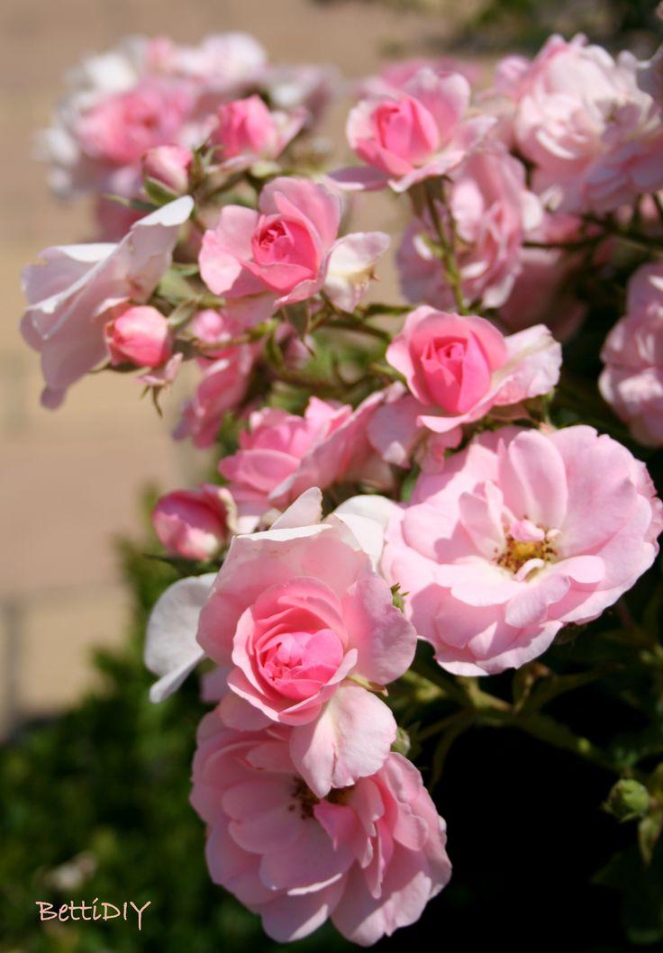 roses in Szolnok