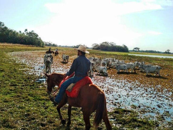 Cavaleiro dando rodeio no gado em área alagada. Foto de autoria de Lander Hortêncio