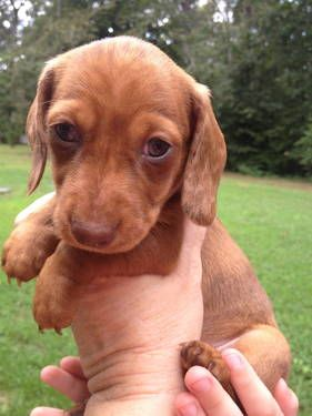 2 Beautiful CKC/ACA Red Dapple Miniature Dachshunds For Sale