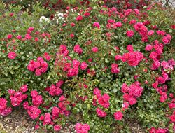 Ground-covering roses can transform a yard in more ways than one.