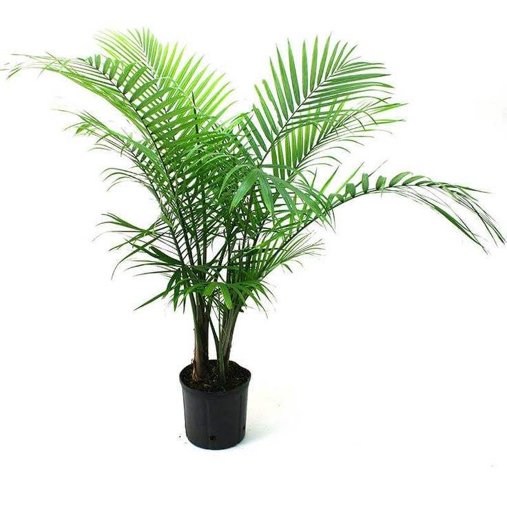 Best 25 indoor palm trees ideas on pinterest palm house for Areca palm safe for cats