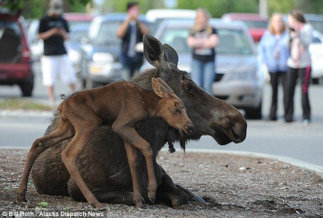 Alaska moose gives birth in Lowe's parking lot in Anchorage | Daily Mail Online