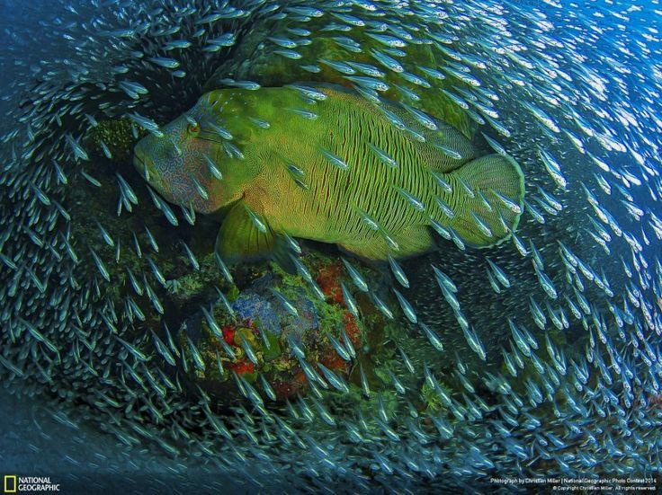Esse peixe bodião fotografado por Christian Miller em Cairns, na Grande Barreira de Corais, na Austrália, levou menção honrosa