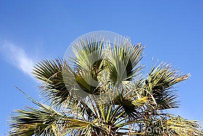 Palm tree, pedestrian perspective. Blue sky.