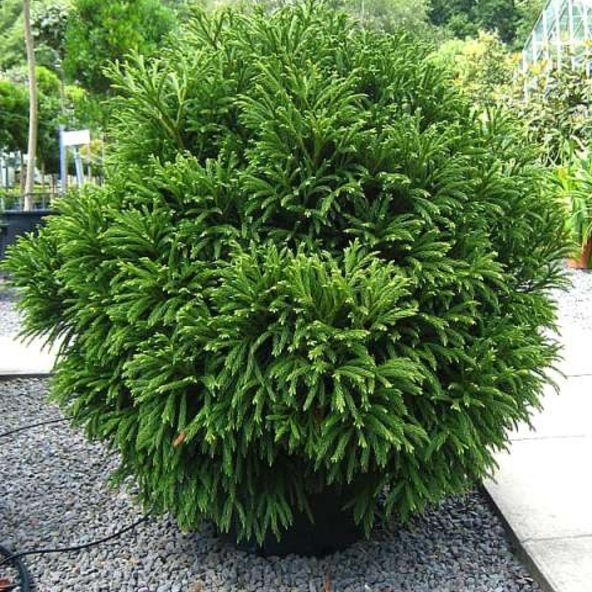 206 Best Evergreens For Small Yards Images On Pinterest 400 x 300