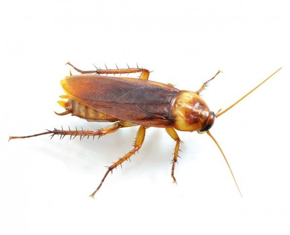 How To Get Rid Of Roaches Cockroaches Roach Control Termite Control Insect Control
