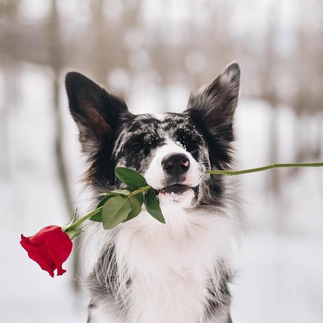 Will You Be My Border Collie Valentine Doggy Instagram Dogs Dog Valentines Border Collie