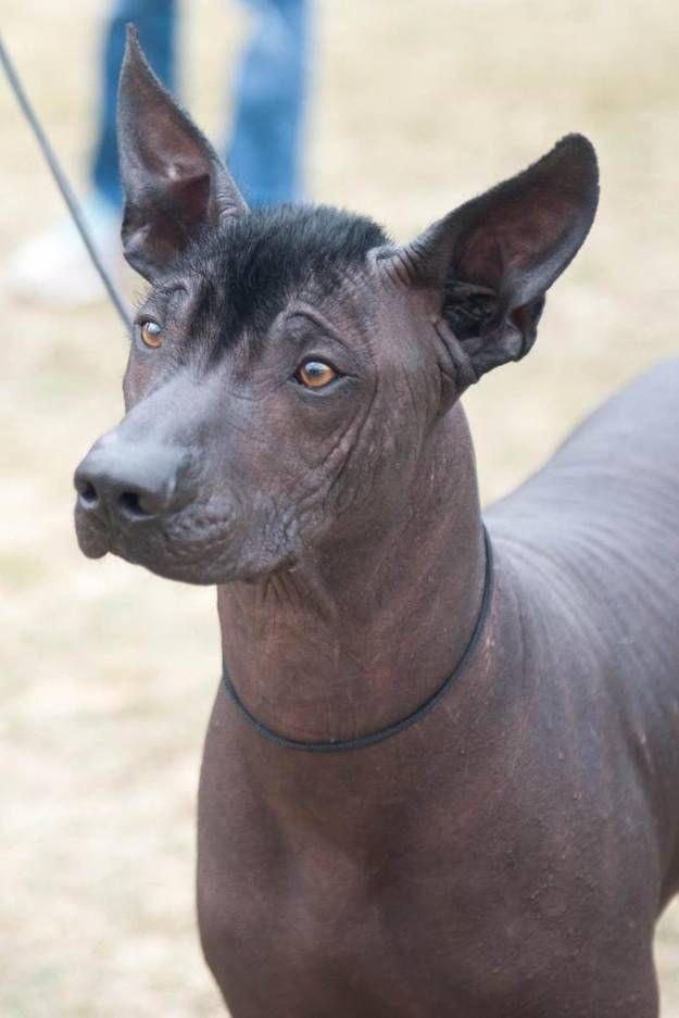 Xoloitzcuintli Training 25+ best ideas about H...