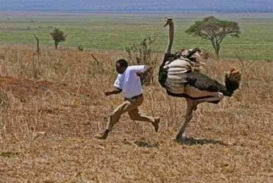 George Mbaula, Nature Photographers     A funny photo of Tanzanian driver Guide chased by a male Ostrich in the Tarangire National Park in Tanzania