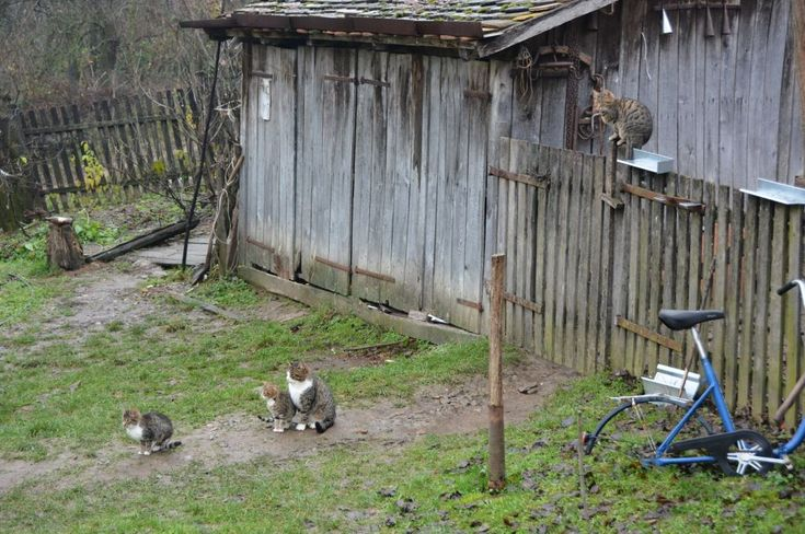 Village Ljutice in Serbia - cats are unavoidable in the yard, they have their own role