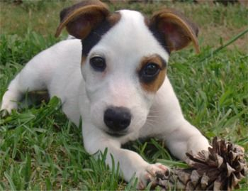 Miniature Jack Russell Terrier   Jack Russell Terrier - 14 Weeks
