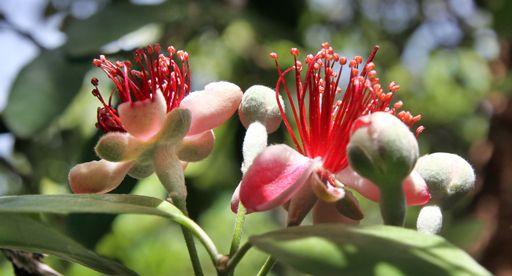 Tui Garden   Fantastic Feijoas - All you need to Know