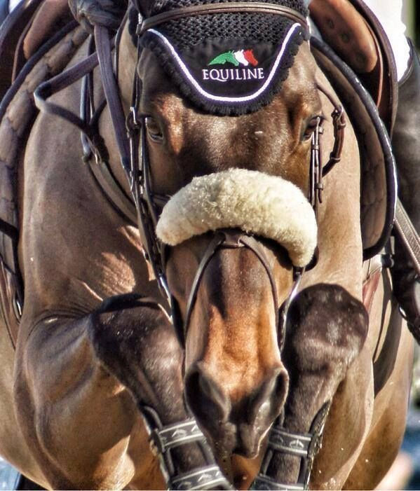 Bay Showjumper | Equiline | Veredus Olympic | Grackle Nose Band | Shadow Roll.  #TheBitUK
