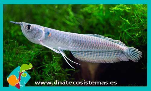 osteoglossum-bicirrhosum-arowana-silver--tienda-de-peces-online-peces-por-internet-acuario-bomba-filtro-sustrato-planta-roca-arena-salabre-iman-termocalentador-comida-seca-viva-congelada