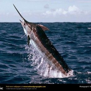 33 best gulf of mexico fishing images on pinterest for Sc saltwater fish