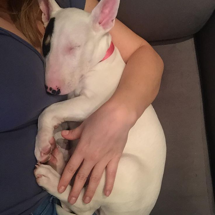 those beautiful bull terriers i think that is what they are called - a special breed of loving babies #adoptdogs #dogsneedhomes #dogs
