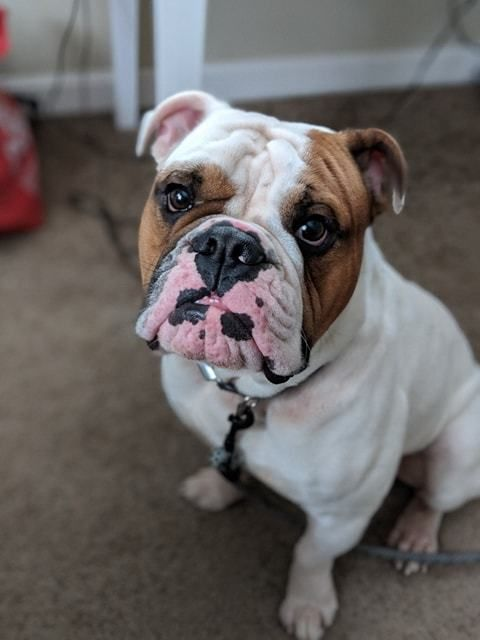 Adopt Wagner On Bulldog Rescue Pet Adoption Therapy Dogs