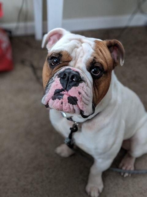 Adopt Lola On Bulldog Rescue Adoption Pet Adoption