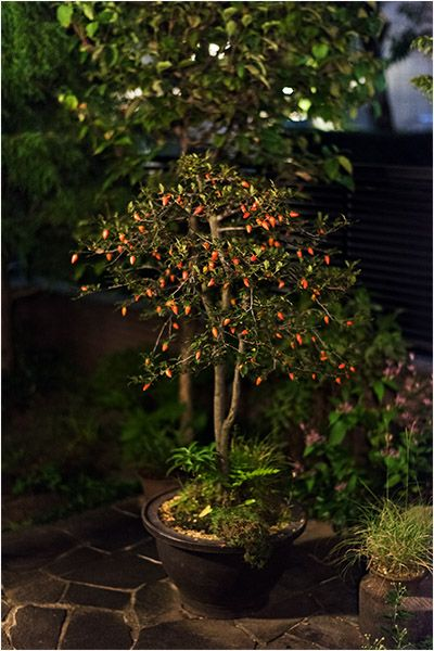 small persimmon fruits on a bonsai tree