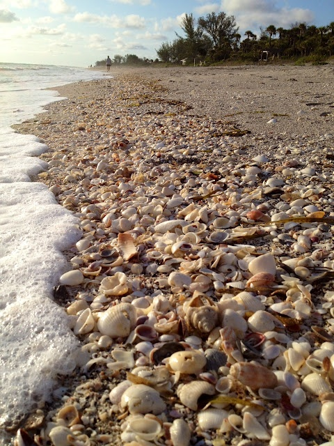 The Essential Beachcomber - shells on Blind Pass Beach located on Manasota Key in SWFL