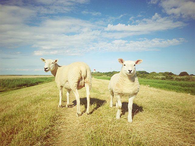 Westermarkelsdorfer Schafe