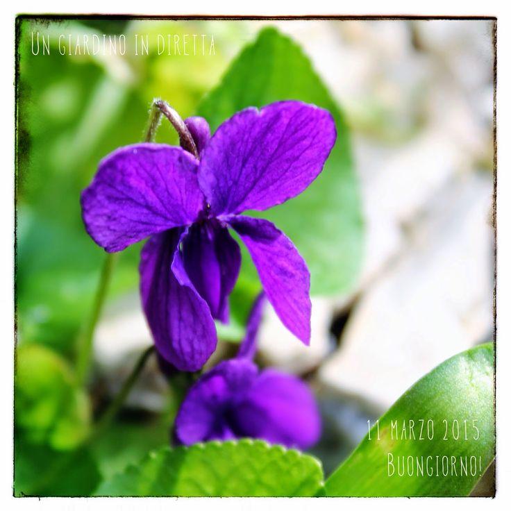 In diretta dal giardino: Viola mammola (Viola odorata), buongiorno giardinieri! #giardino #giardinoindiretta #fiori
